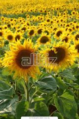 The sunflower is oily, the Luhansk Region.