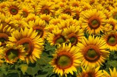 The sunflower is dwarfish, the Luhansk Region.