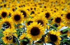 The sunflower calibrated the Luhansk Region.