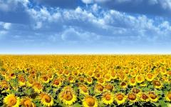 The sunflower is decorative, the Luhansk Region.