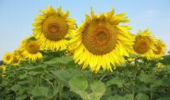 Sunflower hybrids, Luhansk Region.
