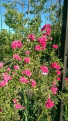 Роза плетистая Rambler розовая