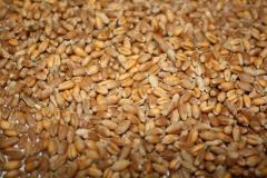 Посевной материал пшеницы