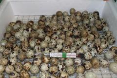 Eggs quail incubatory
