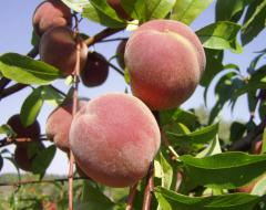 Саженцы персика сорта Днепровский выращивание