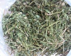 Fialka grass