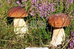 Куплю белый гриб оптом