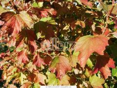 Саженцы декоративных растений, Айва красивая,