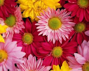 Оптовая торговля цветами. Цветы горшечные,