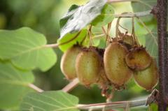 Саженцы цитрусовых деревьев, саженцы киви, Ужгород