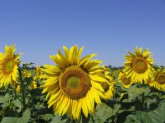 Seeds of sunflower of the Ukrainian selection.