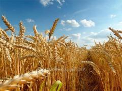 Пшеница озимая Колония (Colonia Limagrain) 1...
