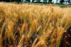 Семена озимой пшеницы Землячка одесская, ...