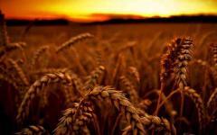 Пшеница озимая ЗЛАТОГЛАВАЯ,  семена...
