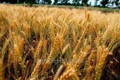 Семена озимой пшеницы сорт Соломия, ...
