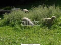 Продам овец в Украине