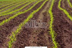 Wheat germinated, grain and oil-bearing crops