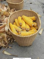 The corn is ordinary