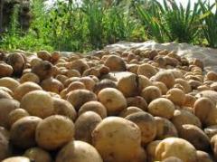Картофель,плодоовощные культуры, сельское хозяйство.