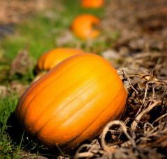 Pumpkin for preparation juice and porridges, the