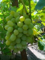 Grapes saplings