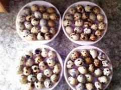 Incubatory eggs: chicken, goose, quail,