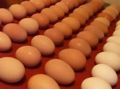 Eggs duck incubatory