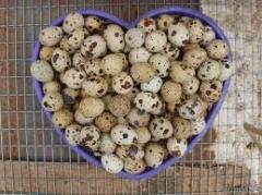 Eggs quail incubatory wholesale price Ukraine