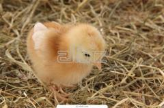 Broilers daily wholesale