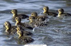 Ducklings daily wholesale price Kiev