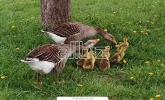 Gooses daily wholesale