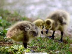 Gooses daily wholesale price Kiev
