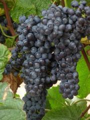 Виноград столовый от производителя