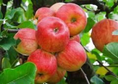 Apple from the producer