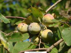 Саженцы плодовых деревьев хурмы морозостойкой