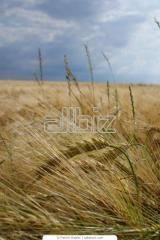 Пшеница твердая озимая