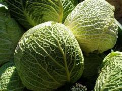 Savoy cabbage, wholesale, at retail, we buy, we