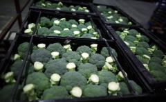 Cabbage of broccoli from producers of Ukraine, we