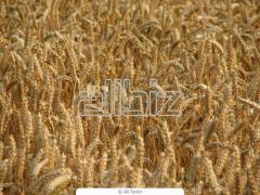 Пшеница|зерновые  культуры
