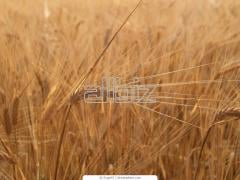 Культуры зерновые|пшеница