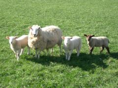 Овца домашняя