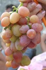 Саженцы винограда ранних сортов упаковка