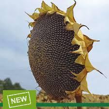 Насіння соняшника Самуела (Маїсадур Семанс,