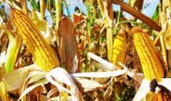 Семена кукурузы Амарок 300 (ВНИС)