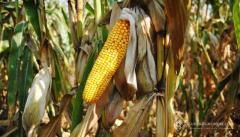 Насіння Кукурудзи ДН Галатея