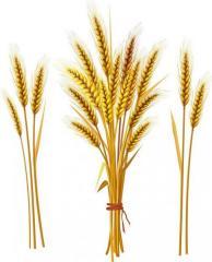 Пшеница, ячмень, овес, кукуруза, рапс,