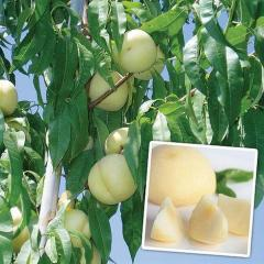 Peach seedlings
