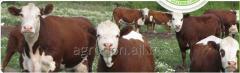 Фураж за едър добитък