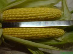 Кукуруза сахарная, суперсладкая, Оверленд, в