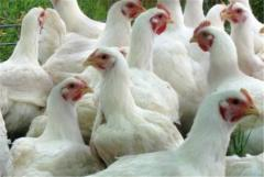 Комбикорм ПК1-18 для кур несушек от 21 нед